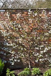 Espaliered Morello cherry in blossom, fan trained against a brick wall. Prunus cerasus 'Morello'