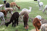Lama Farming 2013