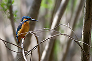 A common kingfisher (Alcedo atthis) also known as the Eurasian kingfisher in Japan. Tsuruma, Kanagawa, Japan. Friday March 30th 2018