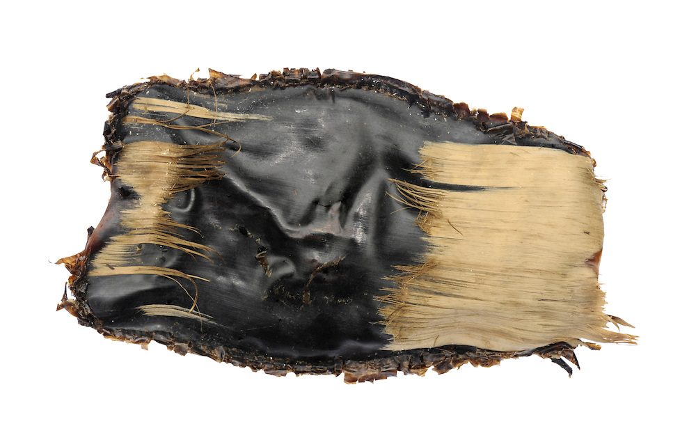 Common Skate Dipturus batis egg case length to 18cm <br /> One of the largest egg cases. Capsule square; has fibrous, ragged appearance and short horns.