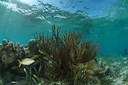 French Grunt (Haemulon flavolineatum) & Yellowtail Snapper (Ocyurus chrysurus)<br /> Halfmoon Caye, Lighthouse Reef Atoll<br /> Belize<br /> Central America