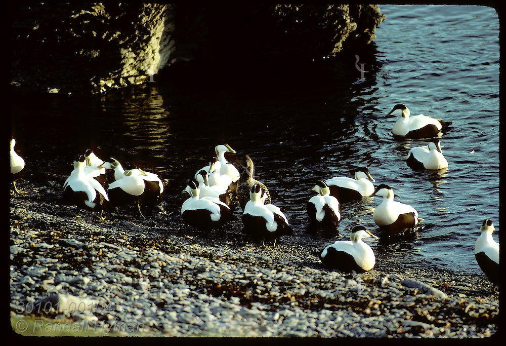 Eider duck is surrounded by entourage of jealous suitors as she enters water @ Vigur Island;June Iceland