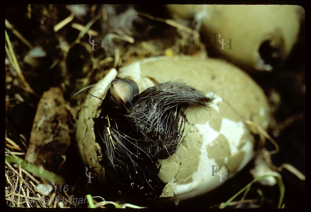 Eider duckling pokes its bill & wing out of egg as it struggles to hatch; Vigur Island in June Iceland