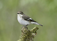 Pied Flycatcher - Ficedula hypoleuca - Female. L 12-13cm. Well-marked bird with precise habitat requirements. Forages in tree canopy. Sexes are dissimilar. Adult male in summer has black upperparts, white underparts and bold white band on otherwise black wings; note small white patch at base of bill. All other birds (including autumn adult male) are similarly patterned but black elements of plumage are replaced by brown. Voice Utters a sharp tik alarm call. Song is sweet and ringing. Status Locally fairly common summer visitor, mainly to Sessile Oak woodland; most numerous in Devon, Wales and Lake District.