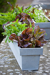 Zinc trugs planted up with lettuce and Bellis perennis
