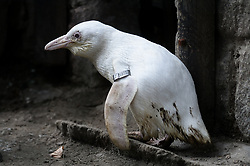 March 22, 2019 - Gdansk, Pomerania, Poland - In Gdansk Zoo a unique white penguin has hatched out. Worldwide unique African Penguin (Spheniscus demersus) is an albinos and has amazing white feathering. (Credit Image: © Mateusz Slodkowski/ZUMA Wire)