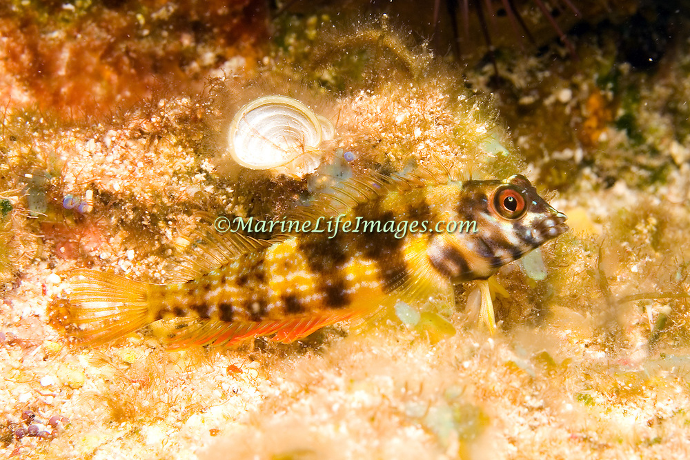 Goldline Blenny perch on bottom in shallow areas from grass beds to sand and rubbe and reefs in Tropical West Atlantic; picture taken Little Cayman.
