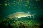A white sturgeon (Acipenser transmontanus), Columbia River Gorge, Oregon. The white sturgeon is the largest freshwater fish species in North America and can reach lengths of almost 20 feet, 1,000 pounds and may live well over 100 years.