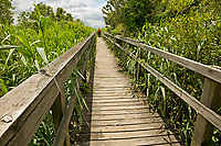 NC01371-00...NORTH CAROLINA - Boardwalk trail almost over grown with Common Reed as it heads through the salt marsh to Currituck Sound in the town of Corrola on the Outer Banks.