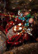 peacock mantis shrimp: Odontodactylus scyllarus moving a rock to make a burrow, Tulamben, Bali
