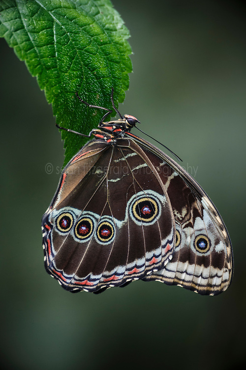Peleides Blue Morpho butterfly, Ecocentro Danaus Biological Reserve, Costa Rica.