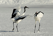 Red Crowned Crane, Grus japonensis, pair, dancing, displaying, together, wings open, Hokkaido Island, japanese, Asian, cranes, tancho, crested, white, black,  wilderness, wild, untamed, photography, ornithology, snow, calling.