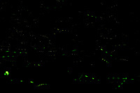 Firefly Trails [2230-2259]. Composite of image takens with a Nikon D4 camera and 200 mm f/2 VR lens (ISO 800, 200 mm, f/8, 30 sec).