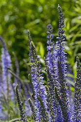 Lange ereprijs, Veronica longifolia