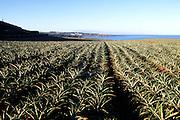 Pineapple field, Kapalua, Maui, Hawaii<br />
