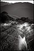 vineyard irrigation, Napa Valley, California