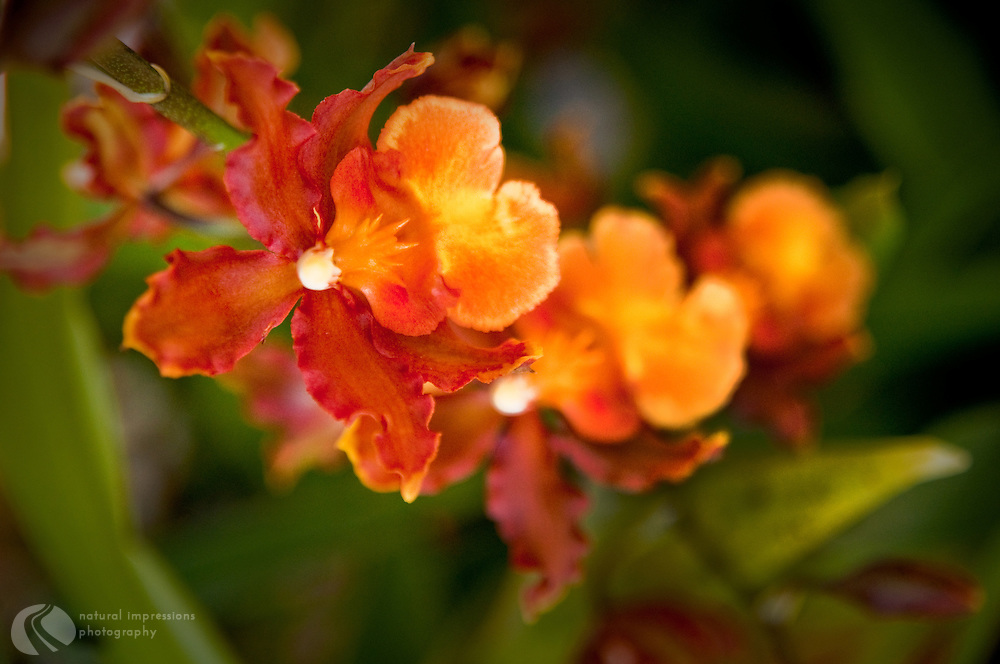 Many different varieties of orchids thrive on the Hawaiian islands.  Hilo, with its jungle like climate is home to beautiful orchid gardens.