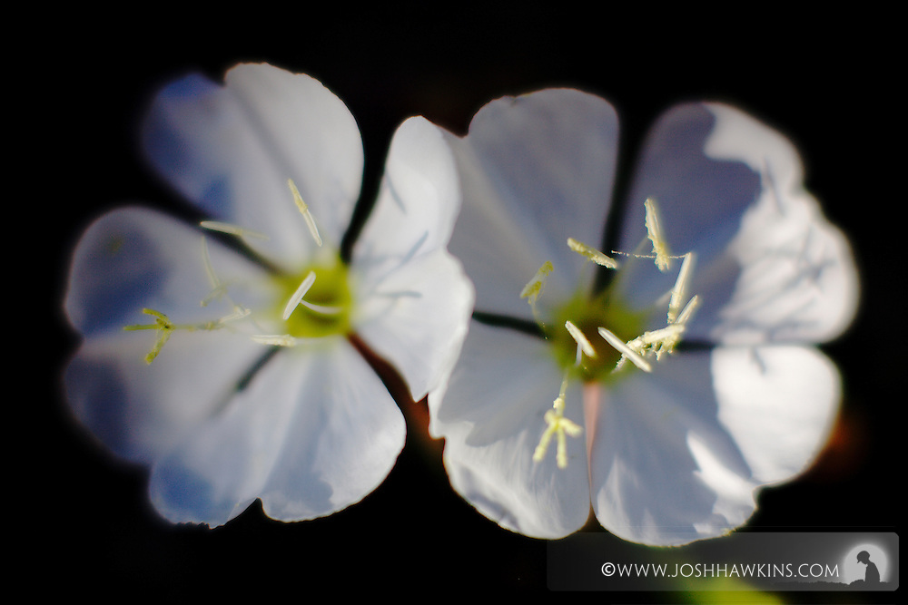 Flowers on Mt. Charleston in Nevada in the Mojave Desert...Oenothera californica ssp. avita.California Evening-primrose