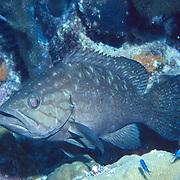 Western Comb Grouper inhabit reefs in southern Caribbean; picture taken Bonaire.