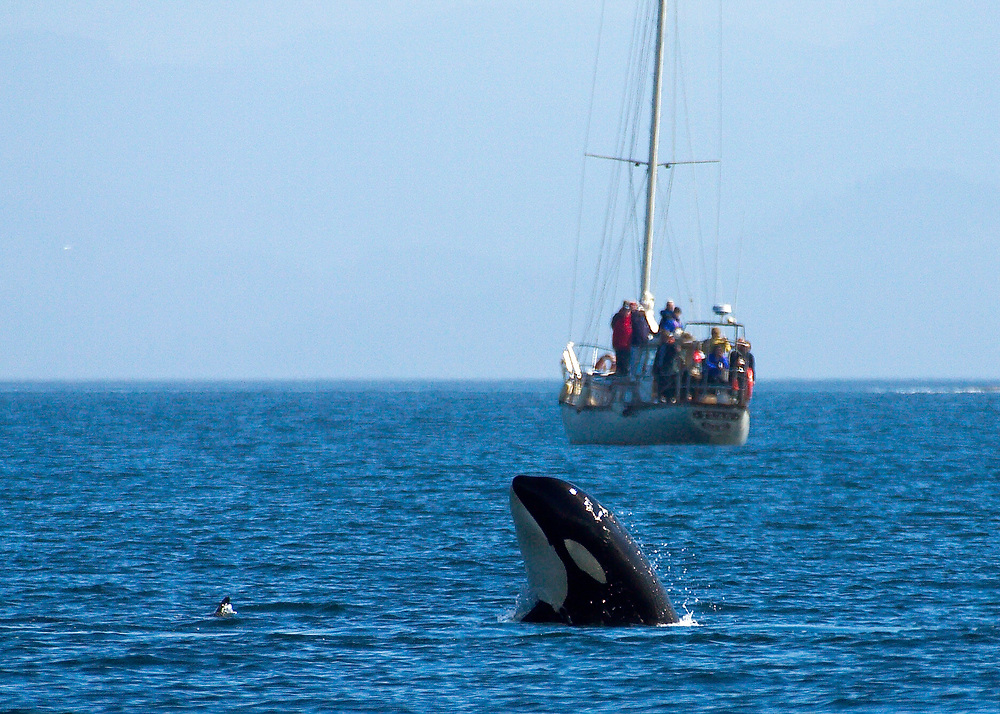 Alaska. Inside Passage. SE. Orca ( Grampus orcinus ) with recreational sailing ship in background.