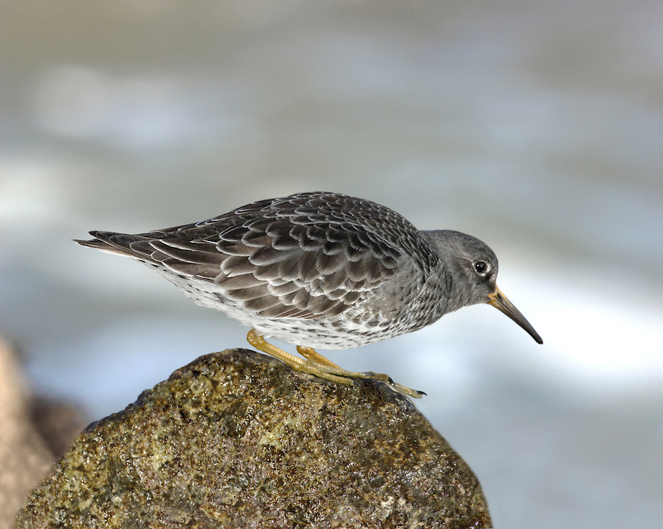 Purple Sandpiper Calidris maritima L 21cm. Plump-bodied wader. Unobtrusive but typically confiding. Legs are yellowish in all birds and bill has yellowish base. White wingbar seen in flight. Sexes are similar. Adult in winter is uniform blue-grey on head, breast and upperparts, darkest on back; belly is white and flanks are streaked. In summer plumage (sometimes seen in late spring) has reddish brown and black feathers on back and dark ear coverts on otherwise streaked grey-brown face. Juvenile recalls winter adult but feathers on back have pale margins creating scaly look; neck, breast and flanks are streaked. Voice Utters a sharp kwit call in flight. Status Handful of pairs breed in Scotland. Best known as a local non-breeding visitor to rocky shores and headlands.