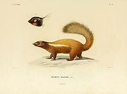 Humboldt's hog-nosed skunk (Conepatus humboldtii), also known as the Patagonian hog-nosed skunk, is a type of hog-nosed skunk indigenous to the open grassy areas in the Patagonian regions of South Argentina and Chile. It belongs to the order Carnivora and the family Mephitidae. Hand coloured sketched From the book 'Voyage dans l'Amérique Méridionale' [Journey to South America: (Brazil, the eastern republic of Uruguay, the Argentine Republic, Patagonia, the republic of Chile, the republic of Bolivia, the republic of Peru), executed during the years 1826 - 1833] 4th volume By: Orbigny, Alcide Dessalines d', d'Orbigny, 1802-1857; Montagne, Jean François Camille, 1784-1866; Martius, Karl Friedrich Philipp von, 1794-1868 Published Paris :Chez Pitois-Levrault et c.e ... ;1835-1847