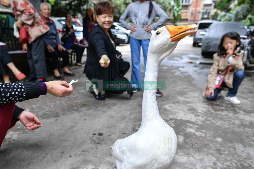 "A pet goose ""Su Su"" has become a local celebrity as it follows its ""father"" Jiang Guozhen's family around wherever they go who had been considered as a duckling when been founded several months ago in Kunming,Yunnan,China on 17th July 2017.<br />