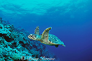 hawksbill sea turtle, Eretmochelys imbricata, Critically Endangered Species, Layang Layang Atoll, Malaysia ( South China Sea )