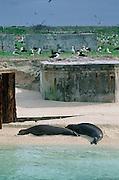Monk Seal, Midway Island, N.W. Hawaiian Chain, Hawaii<br />