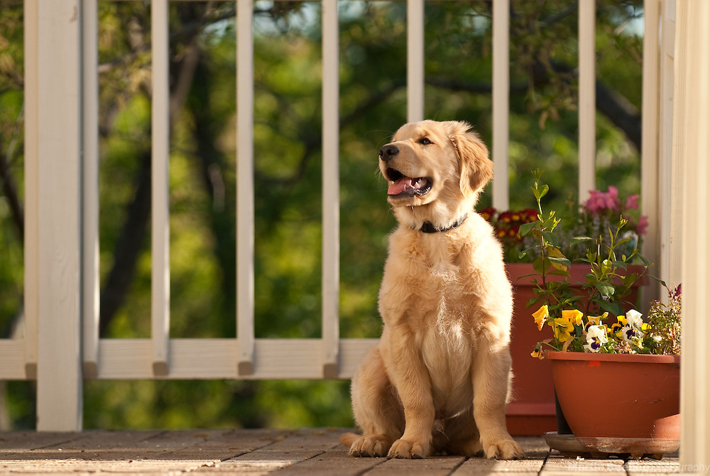 A three-month-old golden retriever puppy sits on a deck