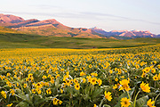 Arrow-leaved Balsamroot bloom along Montana's Rocky Mountain Front.