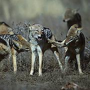 Black-backed Jackal, (Canis mesomelas) Fighting in show of dominance.Kalahari Desert. Africa.