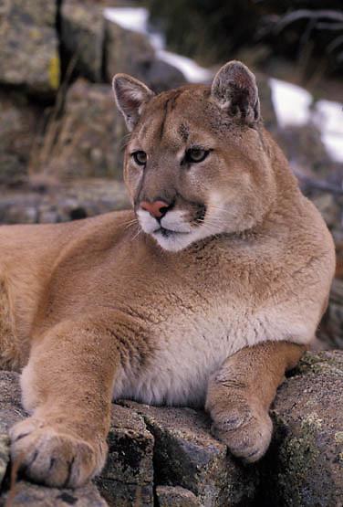 Mountain Lion or Cougar, (Felis concolor) Portrait of adult. Montana. Captive Animal.