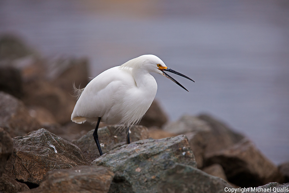 Snowy Egret at Shoreline displaying-captured in early morning shadow.