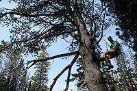 Nancy Bockino rapels from a large whitebark pine tree recently near Surprise Lake in Grand Teton National Park. Bockino is part of a team studying the trees and collecting their seeds so they can be replanted in the event of a catastrophic kill-off from pine beetles.