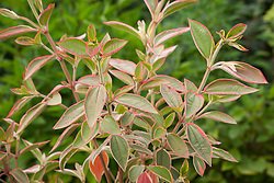 Tibouchina urvilleana variegated. Showing red tint to leaves