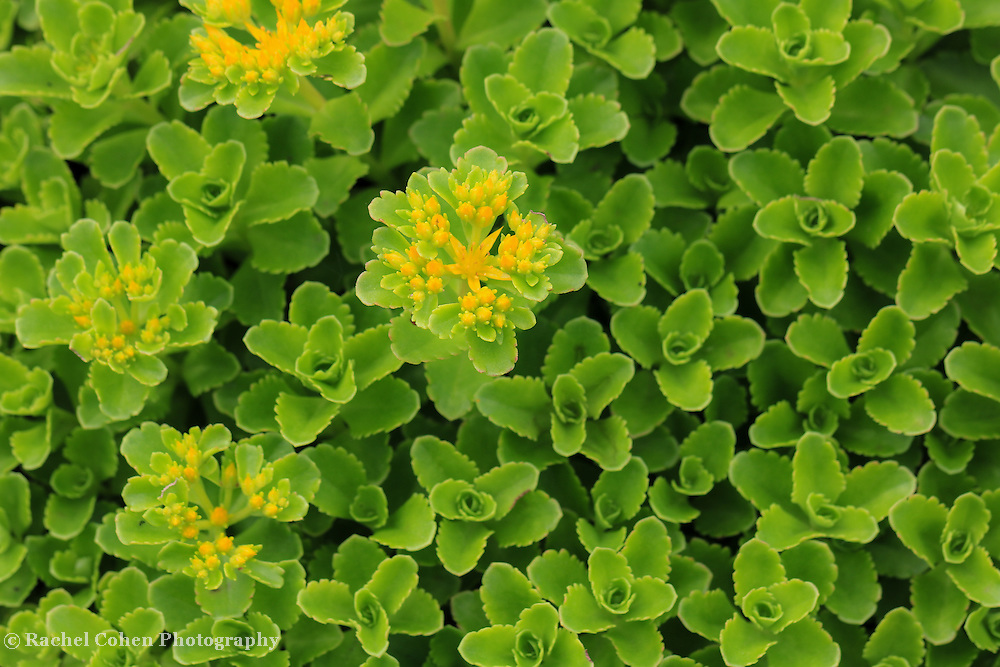 """""""Yellow on Green""""<br /> <br /> Beautiful green ground cover in the shape of rosettes just starting to bloom yellow flowers."""