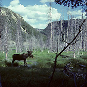 Moose, (Alces alces) Bull in wet lowlands grazing on vegetation in Yellowstone National Park,Summer