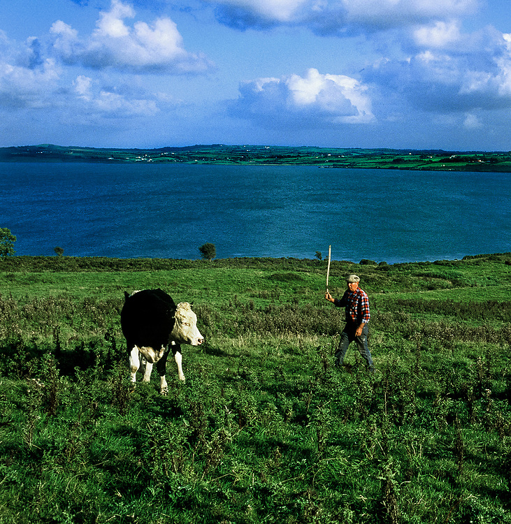 Irish farmer herding cattle by the Shannon River, County Clare, Ireland