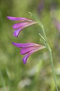 Italian Gladiolus - Gladiolus italicus