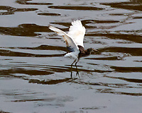 Chinese Pond-Heron viewed from the deck of the MV World Odyssey while traveling on the Saigon river into Ho Chi Minh City. Image taken with a Nikon 1 V3 camera and 70-300 mm VR lens (ISO 200, 300 mm, f/5.6, 1/2000 sec).