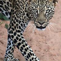 A leopard prowls the Masai Mara in Kenya.<br /> Photo by Shmuel Thaler <br /> shmuel_thaler@yahoo.com www.shmuelthaler.com
