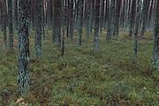 Coastal pine forest with dwarf shrubs in undergrowth on cloudy late autumn day, Nature park Ragakāpa (Ragakāpas dabas parks), Latvia Ⓒ Davis Ulands | davisulands.com
