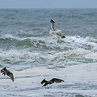 Gulls fly over waves in the Pacific Ocean near Pescadero, California.