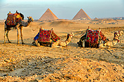 camels resting in the desert with the three Great pyramids of Giza in the background against a hazy blue sky at sunrise