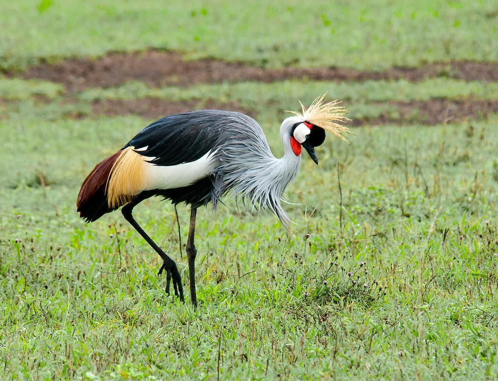 Grey Crowned Crane - Crown Bird