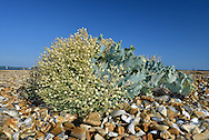 Sea-kale in fruit (Crambe maritima) on Hurst Spit, Hampshire
