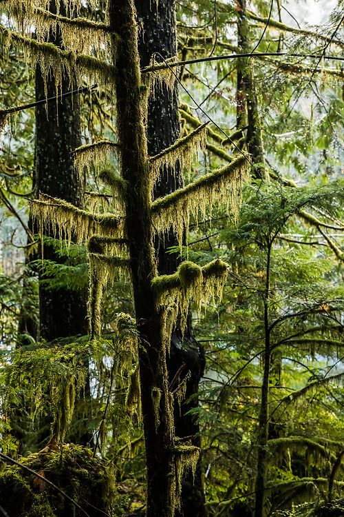 Trees covered in moss, Staircase Rapids area of Olympic National Park, Washington, USA.
