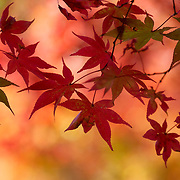 Momiji Japanese maple leaves in autumn, Kyoto, Japan
