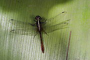 Dragonfly (Odonata)<br /> Kaieteur Falls<br /> GUYANA<br /> South America<br /> Kaieteur National Park, in Essequibo, Guyana,